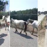 En video | Policía recupera caballos que robaron en Soplaviento para alquilar en Cartagena