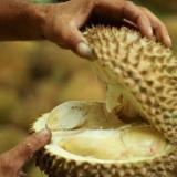 El durián, la apestosa fruta codiciada por los chinos que pone en riesgo la jungla de Malasia
