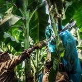 Creció la exportación de bananos un 13% en 2018