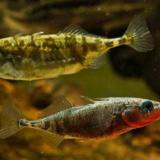 Conozca por qué algunos peces marinos pueden adaptarse al agua dulce
