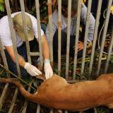 En video | Autoridades evitan el sacrificio de un puma en el sur de Córdoba