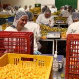 Países Bajos, el principal mercado de exportación de la uchuva colombiana