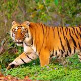 En video| Motociclistas se salvan de ser atacados por un tigre