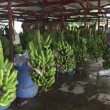 Detectan posible brote de hongo letal para el banano