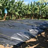 ICA y gremios refuerzan controles en cultivos de banano por hongo Fusarium