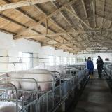 Cinco millones de cerdos murieron en un año por peste porcina