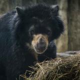 El pasado jueves se desarrolló la audiencia pública para definir el futuro del oso Chucho.