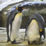 En video | Pareja de pingüinos macho adoptan un huevo en Alemania