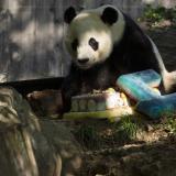 En video   El panda gigante Bei Bei celebra su cuarto cumpleaños en un zoológico de EEUU