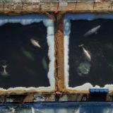 Liberan en Rusia a las últimas orcas hacinadas en estanques
