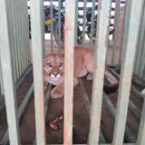En video | Puma atrapado por ganaderos fue liberado en el sur de Córdoba