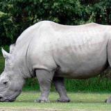 Con embriones buscan salvar a rinoceronte blanco del norte