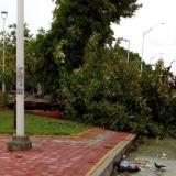 Árbol caído en las inmediaciones del estadio de béisbol Édgar Rentería.