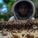 Una de las mujeres que hacen parte del programa de apicultura muestra uno de los paneles de abejas productoras de miel.