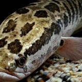 Un ejemplar del pez cabeza de serpiente.