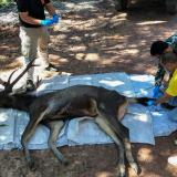 Hallan ciervo muerto en Tailandia con siete kilos de plástico en el estómago