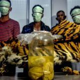 Arrestan en Indonesia a traficantes con la piel de un tigre de Sumatra y cuatro fetos