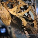 Un tiranosaurio rex en el Museo de Historia Natural Smithsonian de Washington.