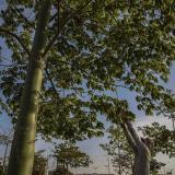 Un técnico de la Agencia Distrital de Infraestructura corta hojas en un árbol.