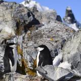 Pareja de pingüinos de Barbijo (Pygoscelis antarcticus) en el puerto de Orne en las islas Shetland del Sur, Antártida.
