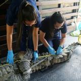 Zoológico de Barranquilla atiende caimán aguja encontrado en Puerto Mocho