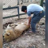 Fiscalía anuncia investigación penal por el caso del león Júpiter