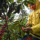 Producción colombiana de café bajó un 9 % en febrero