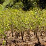 Según denunció Donald Trump, en Colombia habrían 206 mil hectáreas sembradas de coca.