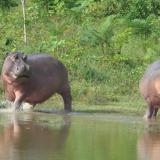 Los hipopótamos de Pablo Escobar dan pistas de especies extintas