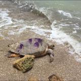 En video | Tortuga carey rescatada en La Guajira regresa a casa