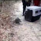 En video | Policía rescata puercoespín que deambulaba en Polonuevo