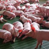 Caída en precio de carne de cerdo no se refleja al consumidor: Porkolombia