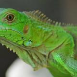 La iguana verde, especie en riesgo, se ve  en el Caribe colombiano.