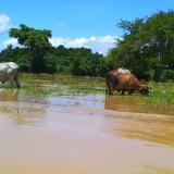 El ganado y los cultivos quedaron entre el agua en Montecristo.