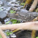 En video   En Parque Isla de Salamanca nacieron 25 caimanes aguja