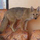 El dilema de 'Antonio', el zorro que fue criado como un perro