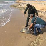 Liberan a dos tortugas verdes en La Guajira