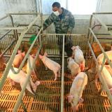 ¿Qué se sabe de la nueva cepa de gripe porcina?