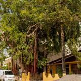 Este es el árbol de laurel de 14 metros de altura ubicado en la carrera 20 con calle 25 de Manga en Cartagena.