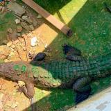 Coco el caimán aguja que llegó de San Andrés.