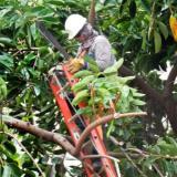 Poda técnica a árboles patrimonios en el Centro Histórico