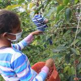 Con protocolos de bioseguridad inició cosecha cafetera en Cesar