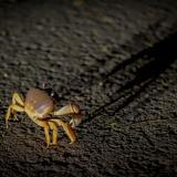 Un cangrejo durante su proceso migratorio cruza la Circunvalar de la Prosperidad.