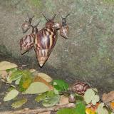 En vereda Calabazo de Santa Marta recolectan 3.172 caracoles africanos