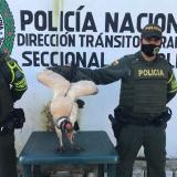 Policía rescata en vía de Bolívar un cóndor real malherido
