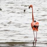 Corpoguajira monitorea ruta de flamencos rosados