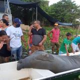 Hembra manatí y su cría fueron hallados muertos en Ayapel