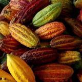 Campesinos unen fuerzas para mover con cacao la economía de Colombia