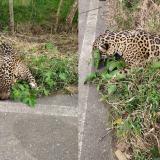 CVS confirma el hallazgo de un jaguar muerto en la vía a Tierralta, Córdoba