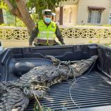 Rescatan caimán aguja de dos metros en las playas de Puerto Velero